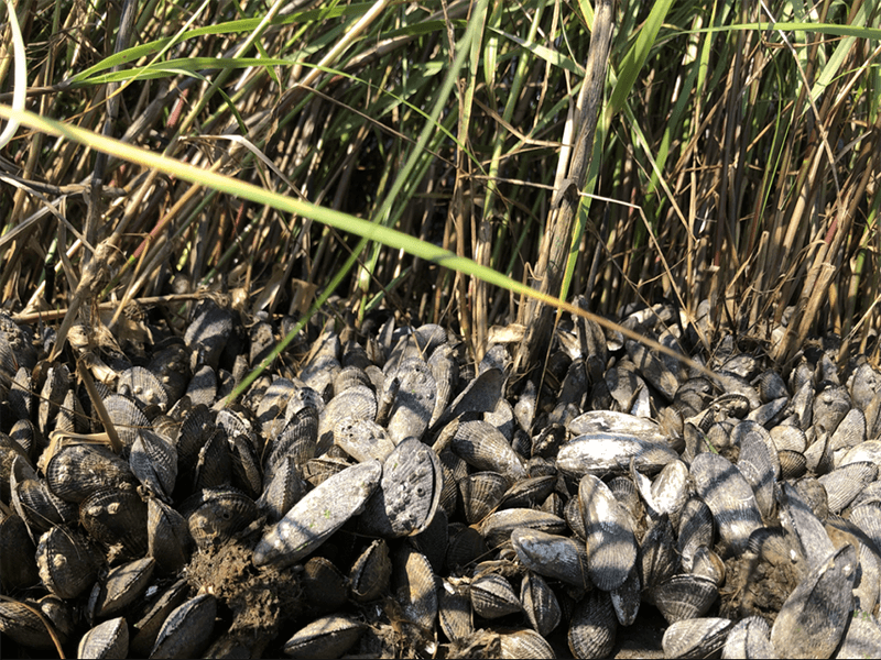 ribbed mussels growing on shoreline
